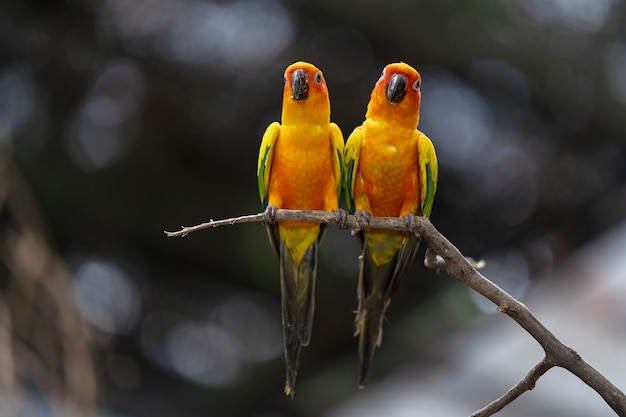 Beautiful colorful sun conure parrot birds