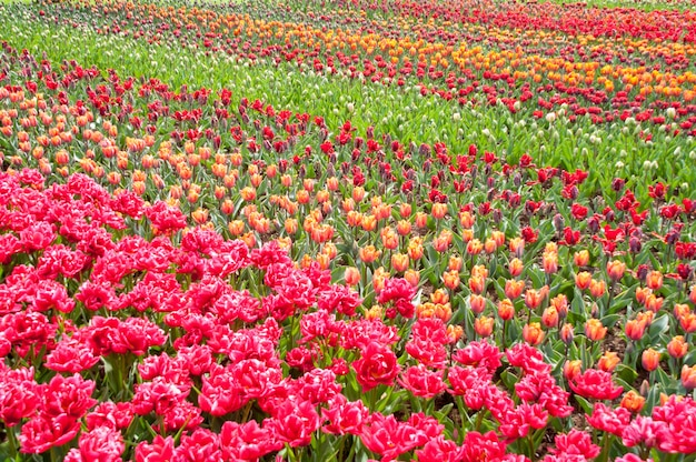 Beautiful colorful tulip field, spring flower background, netherlands (holland)