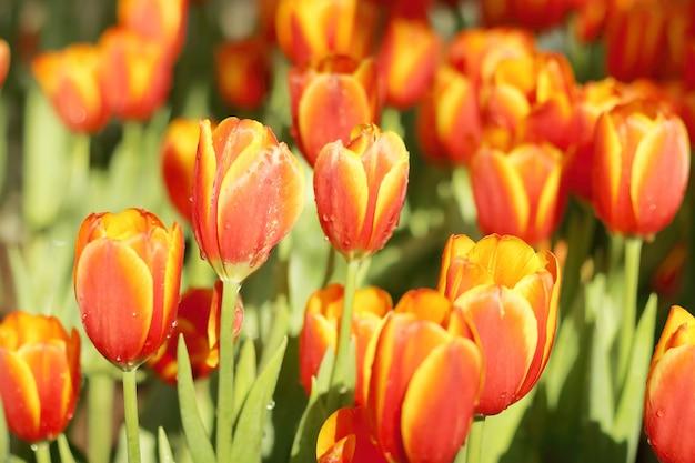 Красивый красочный цветок тюльпанов с зелеными листьями, цветущими в поле тюльпанов.