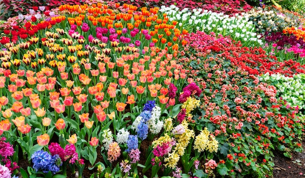 Beautiful colorful tulips in garden nature in spring