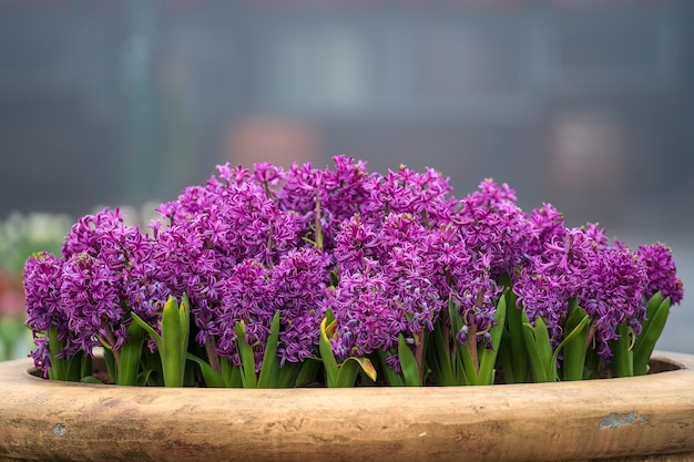 Beautiful colorful vietnamese lilac flowers tien ong adorn a flower bed in danang, vietnam, closeup