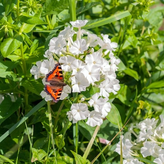 Beautiful colourful butterfly on a white flower in the summer garden