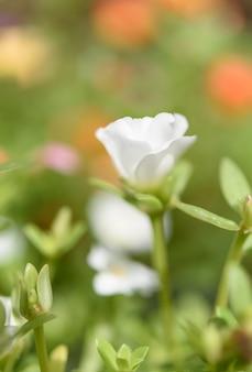 美しい一般的なスベリヒユ、verdolaga、pigweed、リトルホッグウィード、pusley花フィールドで晴れた日