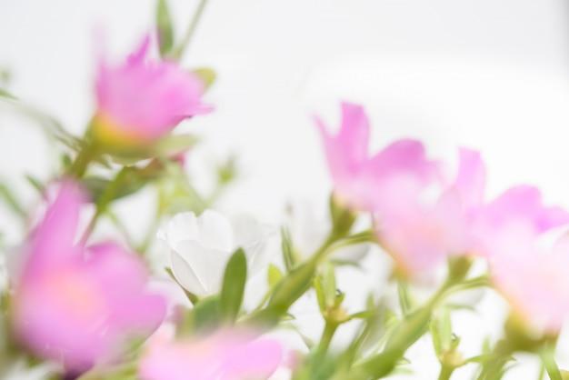 美しい一般的なスベリヒユ、verdolaga、pigweed、リトルホグウィード、pusley花フィールド晴れた日に柔らかく