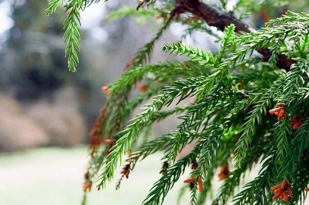 Beautiful coniferous plant in early spring