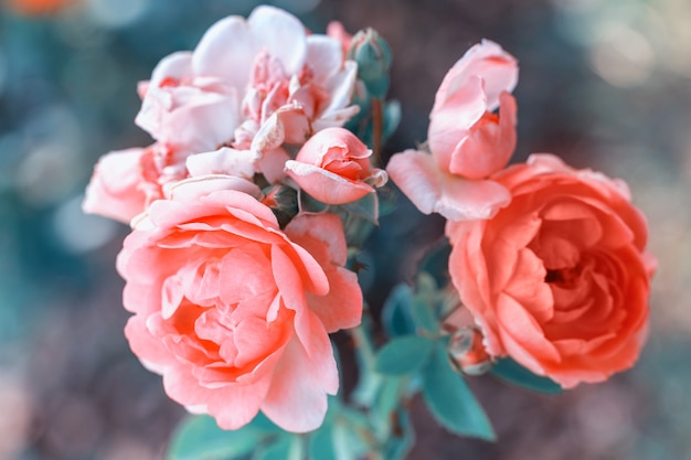 Beautiful coral roses flowers in garden close up. tinted effect, shallow depth of field