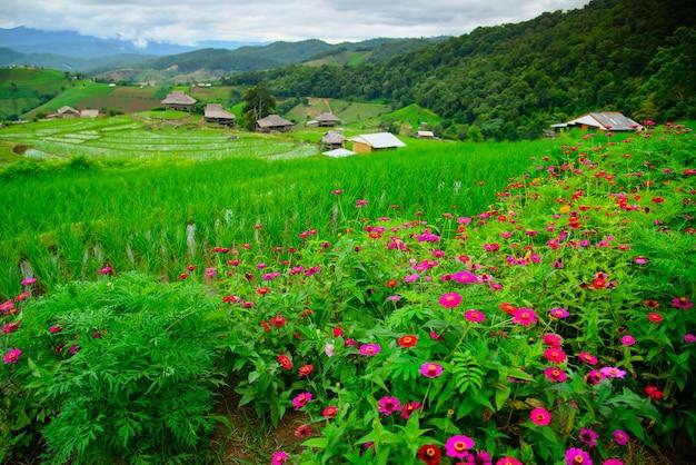 Красивое кукурузное поле в деревне па бонг пианг в мае чам, чиангмай, таиланд