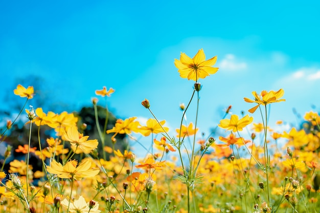 Beautiful cosmos field flowers blooming in gardenselective focus colorful cosmos in garden