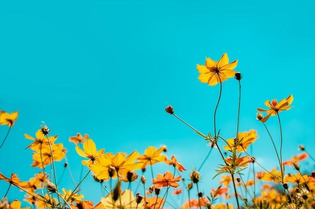 아름다운 코스모스 필드 꽃 피는 정원에서 선택적 포커스 다채로운 코스모스 정원에서