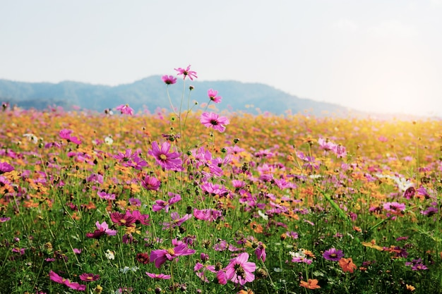 Beautiful of cosmos on field with the sunrise in winter.