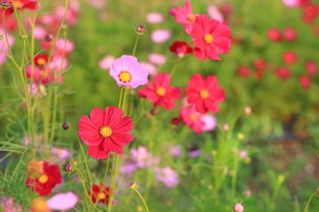 自然の中で夏の庭のフィールドに咲く美しいコスモスの花