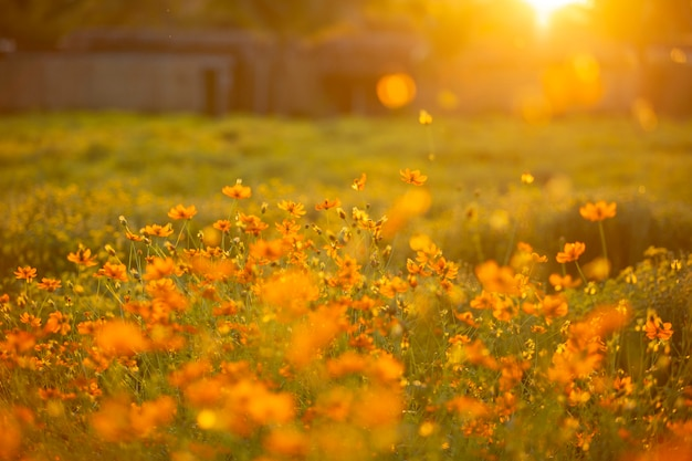 A beautiful cosmos flower in sunset time with sun light.