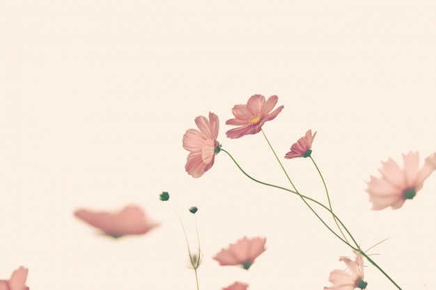Beautiful cosmos flower with filter.