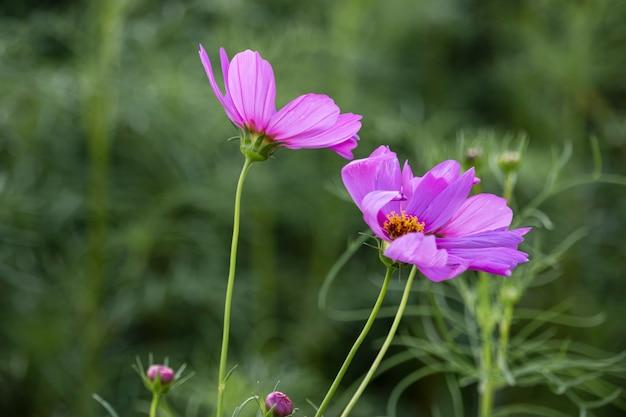 В саду цветут красивые цветы космоса.