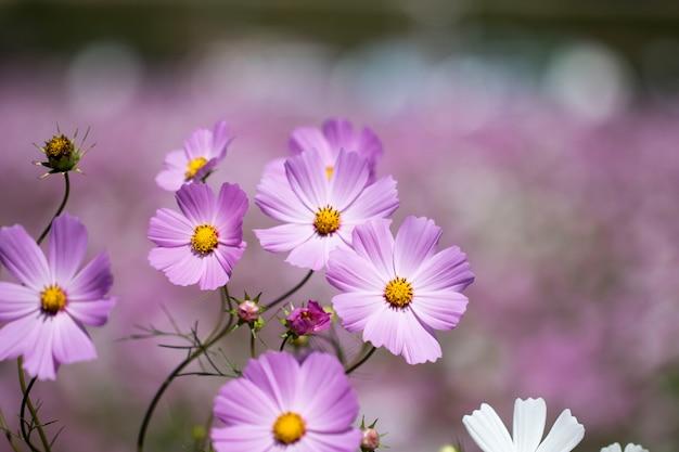Beautiful cosmos flowers in the garden