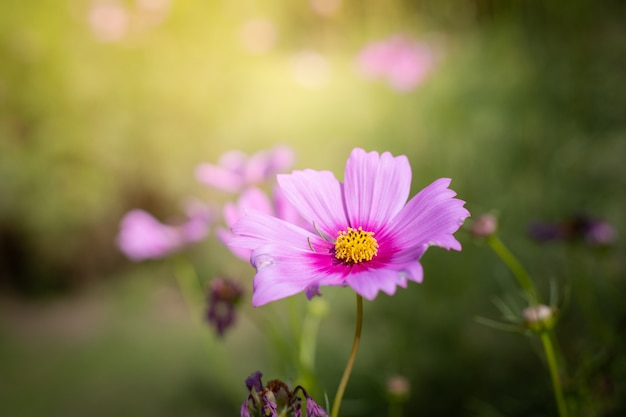 Beautiful cosmos flowers at the garden
