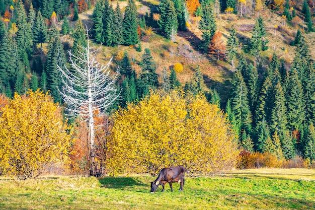 Красивая корова пасется на лугу и ест свежую траву на фоне разноцветных лесов
