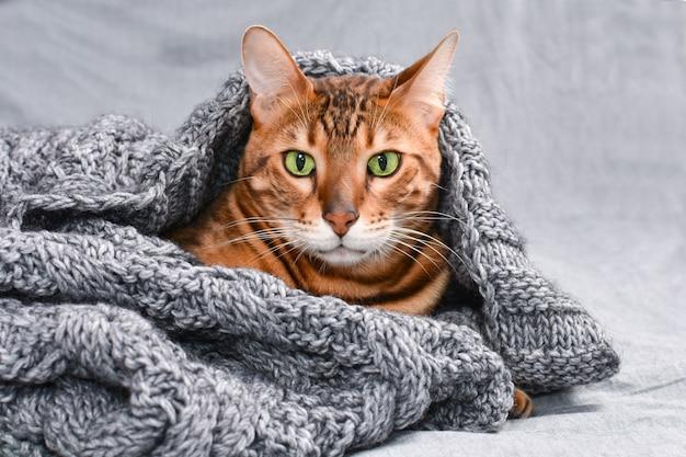 灰色のニットセーターの下に隠された緑色の目を持つ美しい臆病なベンガル猫