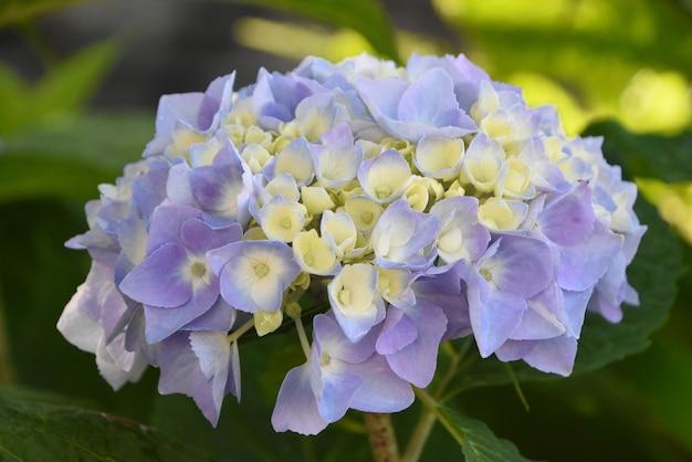 Beautiful creamy white and lavender hydrangea flower blossom