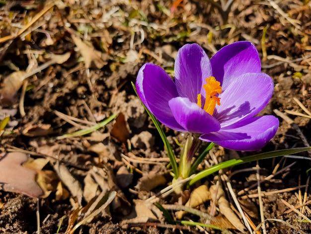 森の中の春の始まりを示す美しいクロッカスの花。晴れた日と春の花。