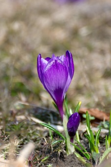 美しいクロッカスは最初のタマネギを春にします。咲く紫色の花のグループ