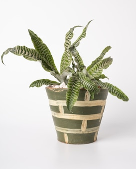 Beautiful cryptanthus fosterianus bromelia houstplant on green clay pot isolated on white background