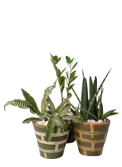 Beautiful cryptanthus fosterianus bromelia,snake plant and zamioculcas zamiifolia houstplant on green clay pot isolated on white background with clipping path