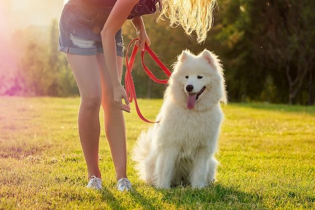 夏の公園の夕日の光線フィールドの背景で白いふわふわかわいいサモエド犬を訓練するデニムのショートパンツで幸せな若い女性の笑顔の美しい巻き毛のブロンド。ペットとホステス。