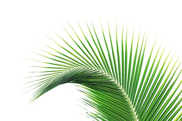 아름 다운 곡선된 코코넛 잎 흰색 배경에 고립