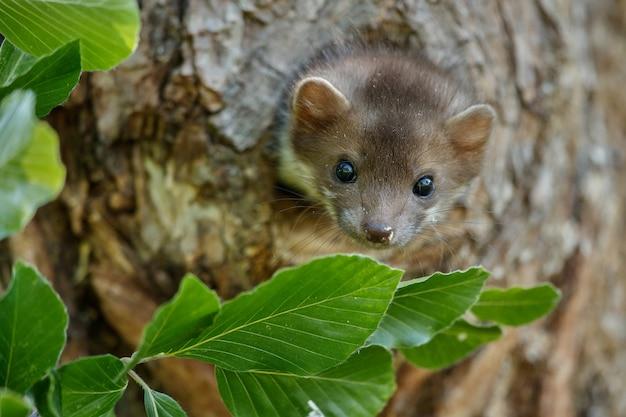 아름다운 귀여운 너도밤 나무 담비