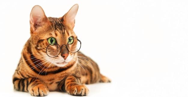 Красивая милая бенгальская кошка в очках на белом фоне изолировала идею плохого зрения домашних животных