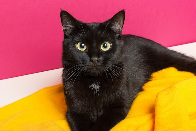 A beautiful cute black cat lies on a bright yellow woolen plaid at home. caring for the animals.