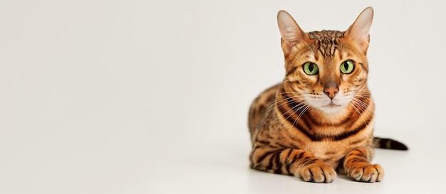 Красивый милый зеленоглазый рыжий полосатый породистый бенгальский кот, лежа, глядя в камеру на светло-сером белом фоне. скопируйте пространства для текста, баннера. очаровательная сладкая прекрасная концепция домашних животных.