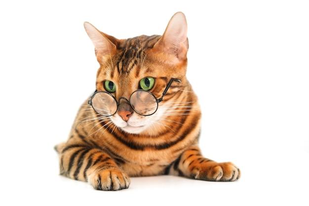 Красивая милая милая полосатая чистокровная рыжая бенгальская кошка в очках, лежащих на белом фоне, изолированные. плохое зрение домашних животных, очки для животных или концепция школьного учителя. скопируйте место для текста