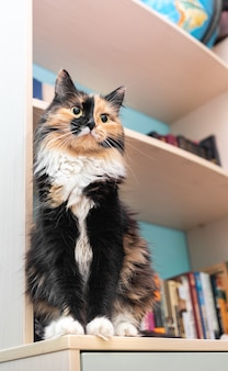 Beautiful cute pet three-color fluffy cat is sitting on bookcase shelf in room. favorite domestic pet. selective focus on cat. vertical orientation.