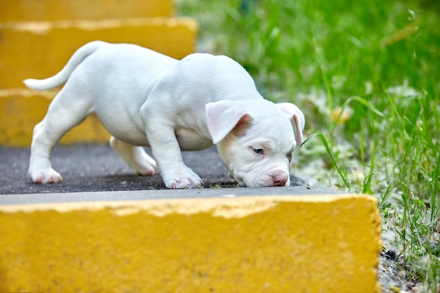 Beautiful and cute puppy american bulli on a concrete background, urban stairs.