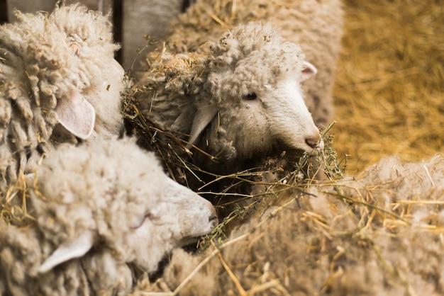 Beautiful and cute sheep inside the farm eat hay.