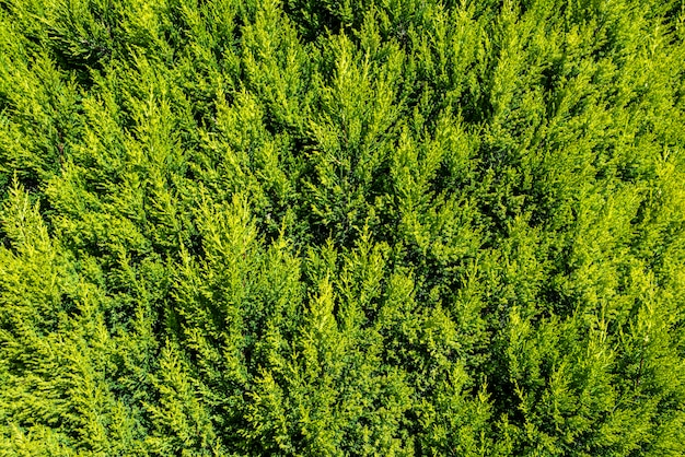 Beautiful cypress hedge with vibrant green leaves.
