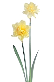 Beautiful daffodils isolated on white