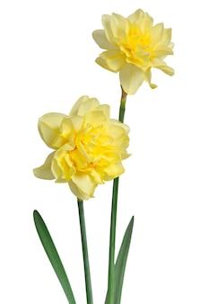 Beautiful daffodils on a white background