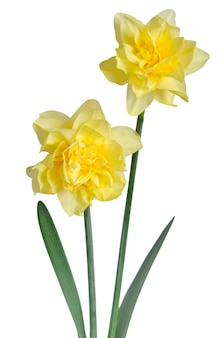 Beautiful daffodils on white surface