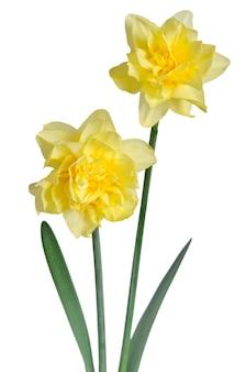 Beautiful daffodils on white surface Premium Photo