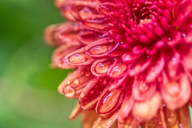 フィールドで成長している美しいダリアの花