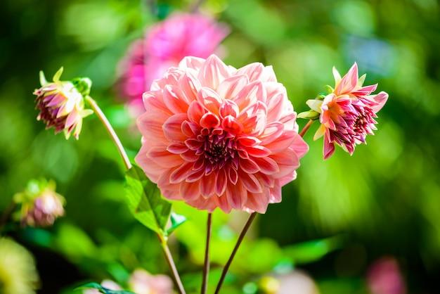 美しいダリアの花