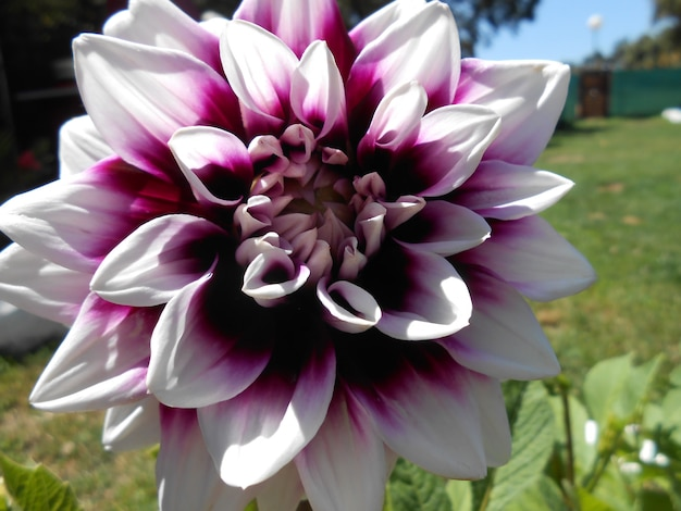 Beautiful dahlia with pink and white petals close up with natural background