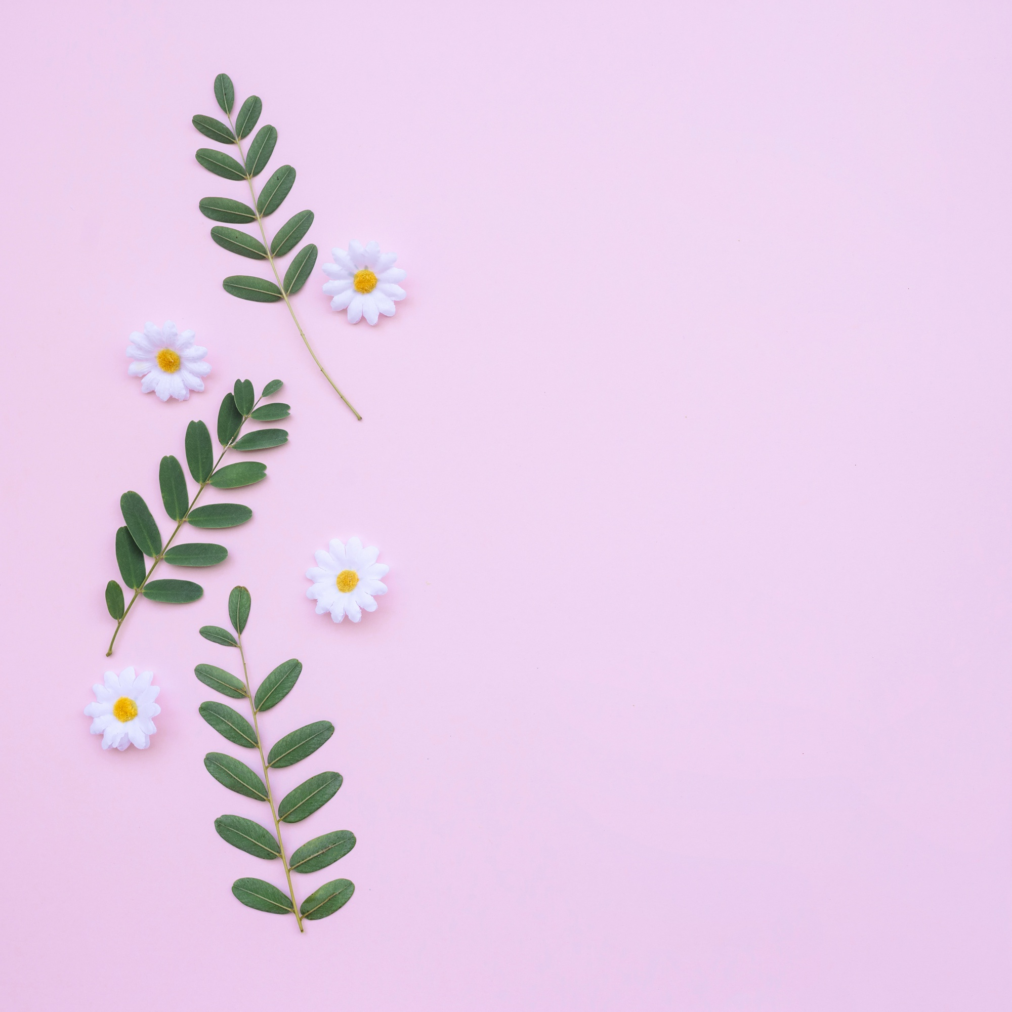 Beautiful daisies and leaves on light pink background