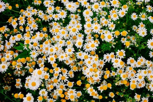 Beautiful daisies field in warm sunlight.