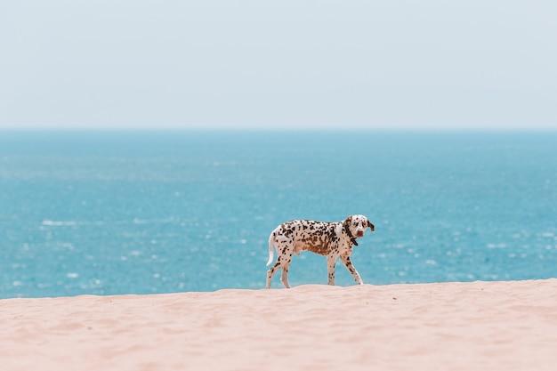 ヨーロッパのビーチで美しいダルメシアン犬