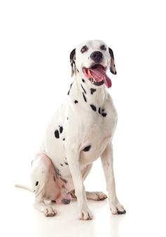 Красивая далматинская собака