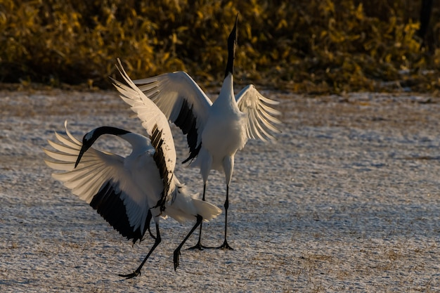 Beautiful dancing pair of couple lover red-crowned crane bird from kushiro hokkaido japan in winter